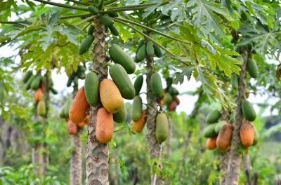 Genetically Modified Papaya